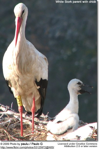 White-stork with chick