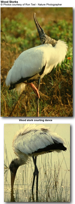 Wood Storks by Ron Toel, Nature Photographer