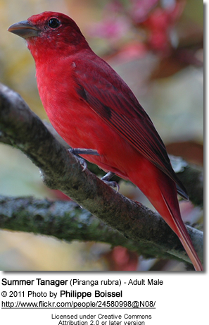Summer Tanager (Piranga rubra) - Adult Male