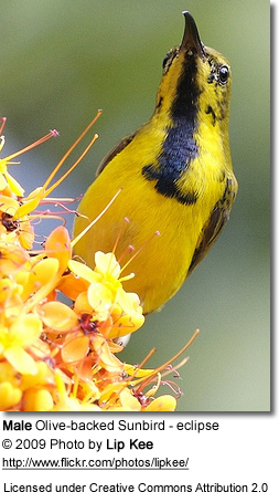 Male Eclipse Olive-backed Sunbird