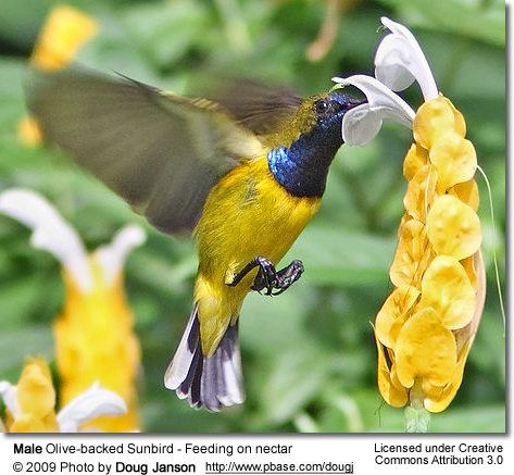 Feeding Male Olive-backed Sunbird