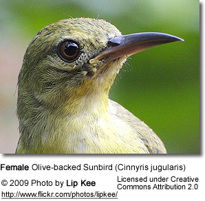 Olive-backed Sunbird (Cinnyris jugularis) - Female