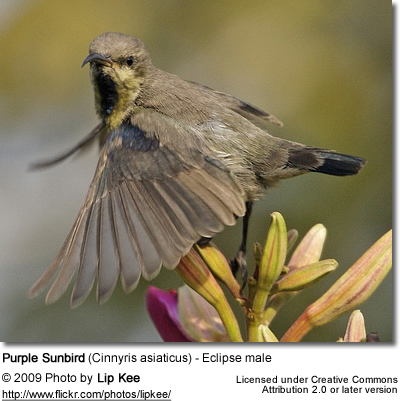 Purple Sunbird (Cinnyris asiaticus) - Eclipse male