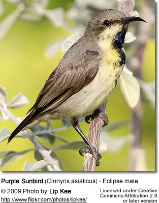 Purple Sunbird - eclipse male