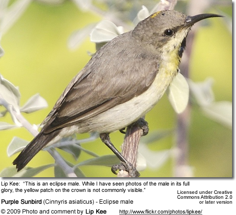 Purple Sunbird - Eclipse Male - note the yellow patch on the top of the head