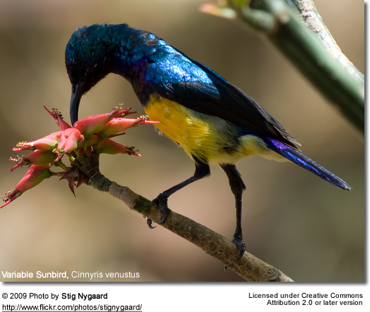 Variable Sunbirds