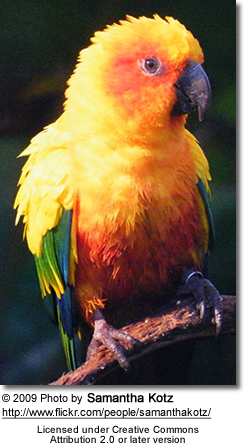 Sun Conure paying attention
