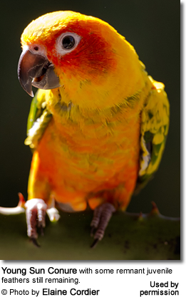 Sun Conure - Young Adult