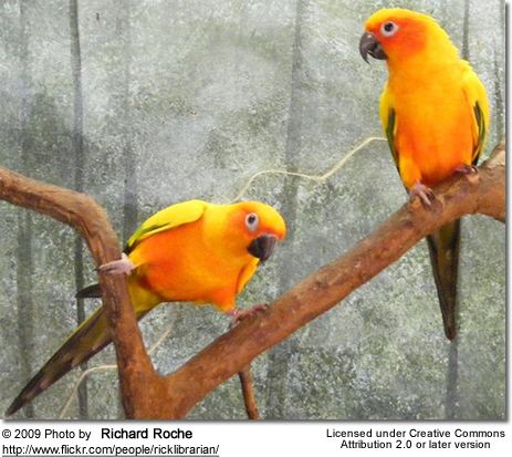 Sun Conures at a zoo