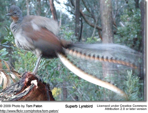 Superb Lyrebird