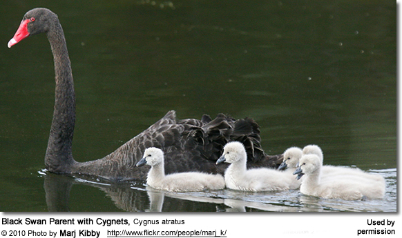 Black Swan Parent with Cygnets, Cygnus atratus