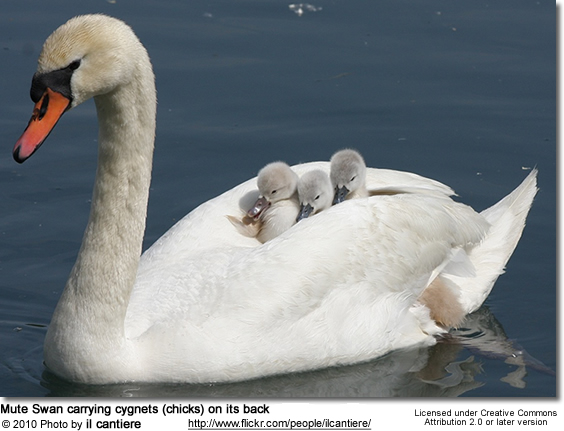 Mute Swan carrying cygnets (chicks) on its back - Cygnus atratus