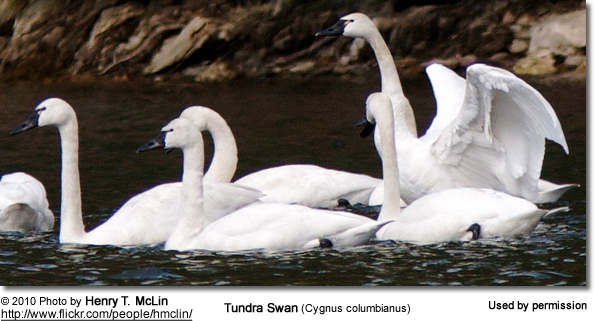 Bewick's Swans aka Tundra Swans: Information and Photos