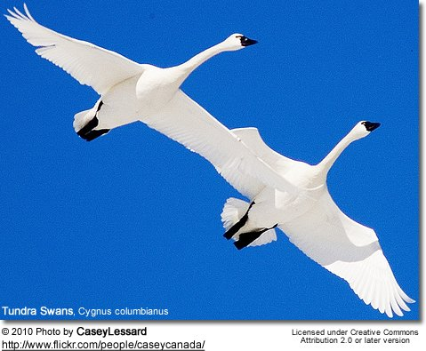Tundra Swans, Cygnus columbianus - in flight