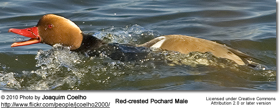 Red-crested Pochard Male