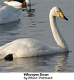 Whooping Swans