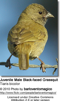 Black-faced Grassquit, Tiaris bicolor - Juvenile Male