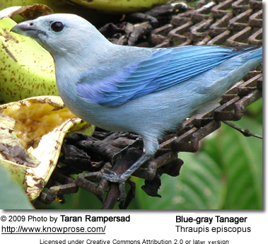 Blue-grey tanager [thraupis episcopus]
