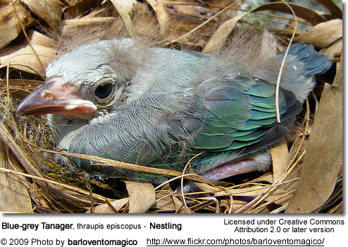 Blue-grey Tanager, thraupis episcopus - Nestling