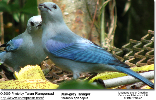 Blue-grey tanagers [thraupis episcopus]