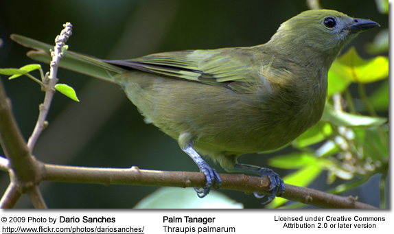Palm Tanager (Thraupis palmarum)