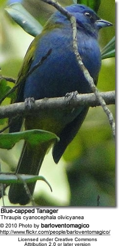 Blue-capped Tanager