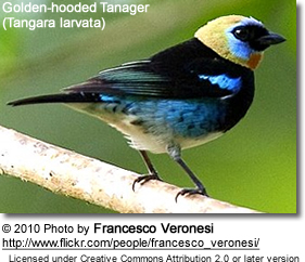 Golde-hooded Tanager