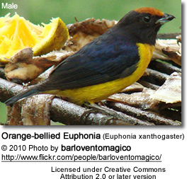 Orange-bellied Tanager