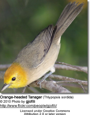 Orange-headed Tanager