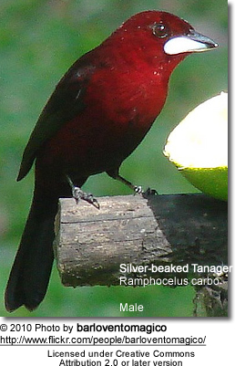 Silver-beaked Tanagers