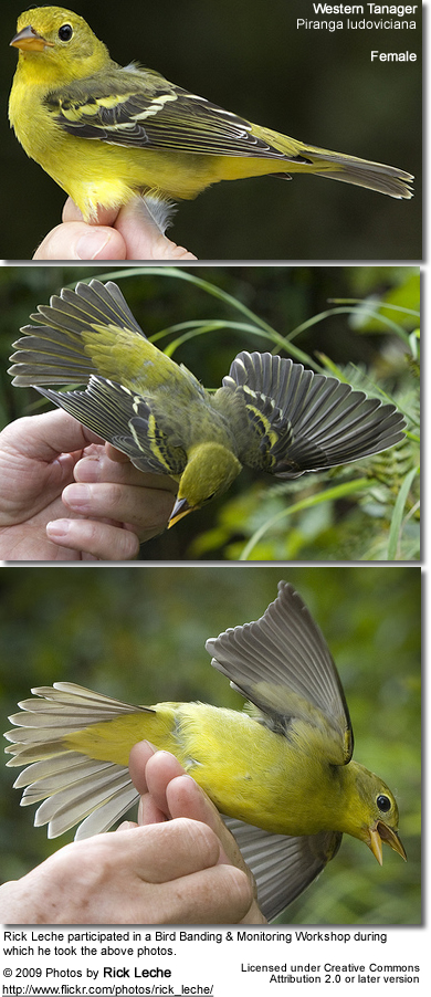 Western Tanager Female - being banded