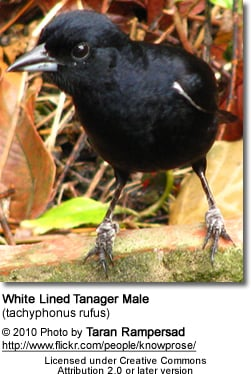 White-lined Tanagers