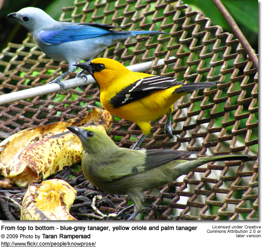 From top to bottom - blue-grey tanager, yellow oriole and palm tanager
