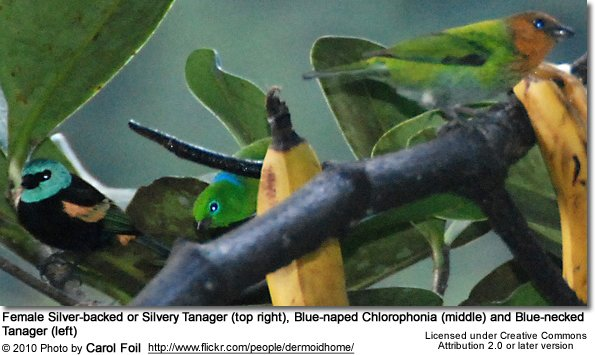 Female Silver-backed or Silvery Tanager (top right), Blue-naped Chlorophonia (middle) and Blue-necked Tanager (left)