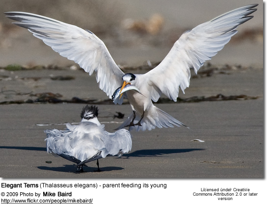 Elegant Terns (Thalasseus elegans) - parent feeding its young
