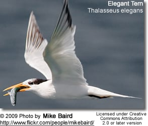 Elegant Tern with fish in its beak