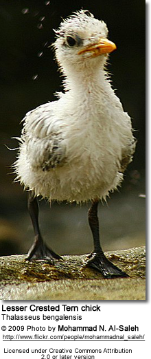 Lesser Crested Tern chick