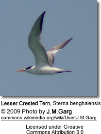 Lesser Crested Tern in Flight