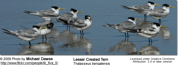 Lesser Crested Tern (Thalasseus bengalensis