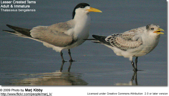Lesser Crested Tern (Thalasseus bengalensis) - adult & immature