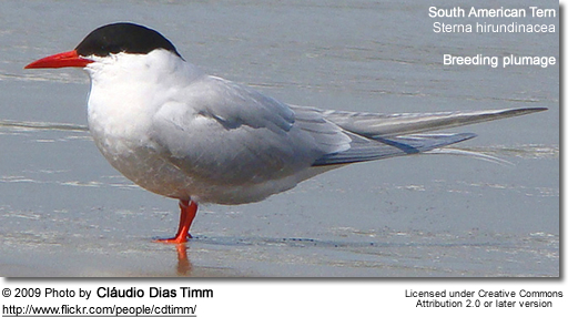 South American Tern in breeding plumage