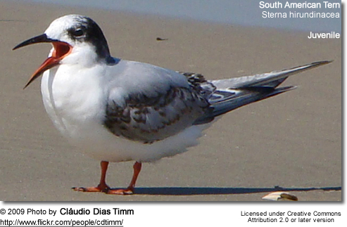 Juvenile South American Tern