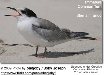 Immature Common Tern