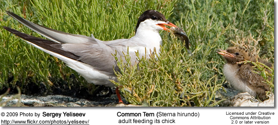 Common Tern feeding her chick