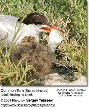 Common Tern with chick