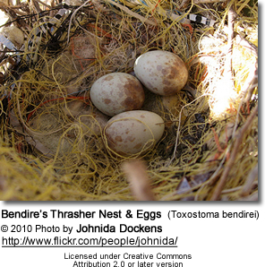 Bendire's Thrasher Nest and Eggs (Toxostoma bendirei)