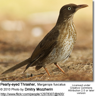 Pearly-eyed Thrasher, Margarops fuscatus