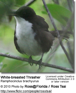 White-breasted Thrasher (Ramphocinclus brachyurus)