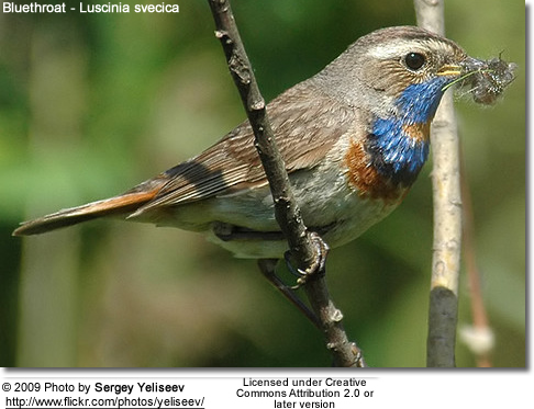 Red-started Blue-throat