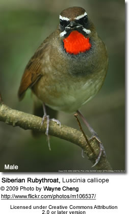 Male Siberian Rubythroat